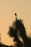 Loggerhead Shrike (Lanius ludovicianus) adult, Joshua Tree Papier Photo par David Tipling