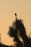David Tipling - Loggerhead Shrike (Lanius ludovicianus) adult, Joshua Tree Fotografická reprodukce