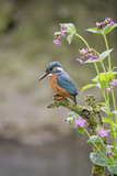 Common Kingfisher (Alcedo atthis) adult male, perched on twig amongst Red Campion flowers, England Papier Photo par Paul Sawer