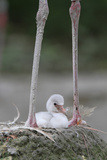 Caribbean Flamingo (Phoenicopterus ruber) three-day old chick Photographic Print by Edward Myles