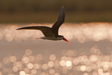 African Skimmer (Rynchops flavirostris) adult, in flight over wetland at dusk, Botswana Papier Photo par Shem Compion