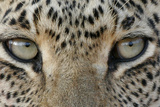 African Leopard (Panthera pardus pardus) adult, close-up of eyes, South Africa Fotodruck von Martin Withers