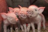 Domestic Pig, Middle White piglets, standing under heat lamp, England Fotografisk tryk af John Eveson