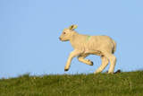 Domestic Sheep Photographic Print by Winfried Wisniewski