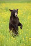 American Black Bear (Ursus americanus) cub, standing on hind legs in meadow, Minnesota, USA Photographic Print by Jurgen & Christine Sohns