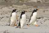 Gentoo Penguin (Pygoscelis papua) three adults, walking on sandy beach, Falkland Islands Fotografie-Druck von David Tipling