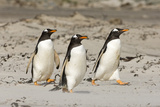 Gentoo Penguin (Pygoscelis papua) three adults, walking on sandy beach, Falkland Islands Photographic Print by David Tipling