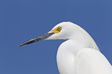 Snowy Egret (Egretta thula) adult, breeding plumage, close-up of head, Florida Photographic Print by Kevin Elsby