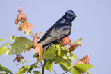 Purple Martin (Progne subis) adult male, perched on maple, USA Photographic Print by S & D & K Maslowski