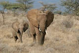 African Elephant (Loxodonta africana) adult female, walking with calf, Kenya Photographic Print by Martin Withers