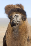Domesticated Bactrian Camel (Camelus bactrianus) breeding male, Khongoryn Els Sand Dunes Photographic Print by David Tipling