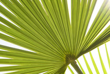 Palm (Arecaceae sp.) close-up of backlit leaves Photographic Print by David Burton