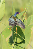 Purple Gallinule (Porphyrio martinicus) adult, foraging, Florida Photographic Print by Edward Myles
