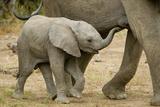 African Elephant (Loxodonta africana) calf, walking beside mother, Mashatu Game Reserve, Tuli Block Photographic Print by Shem Compion