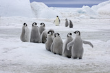 Emperor Penguin (Aptenodytes forsteri) group of chicks, colony, Antarctic Peninsula Photographic Print by Roger Tidman