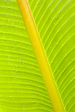 Banana (Musa sp.) close-up of leaf in rain Photographic Print by Krystyna Szulecka