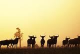 Blue Wildebeest (Connochaetes taurinus) adults and juveniles, Kapiti Plains Photographic Print by Ben Sadd
