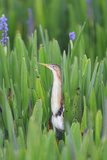 Least Bittern (Ixobrychus exilis) adult male, standing amongst Pickerelweed (Pontederia cordata) Reproduction photographique par Edward Myles