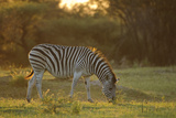 Burchell's Zebra (Equus quagga burchellii) adult, grazing at sunset, Chief's Island, Okavango Delta Photographic Print by Shem Compion