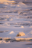 Polar Bear (Ursus maritimus) adult, sleeping on icefloe at sunset, Erik Eriksenstretet, Svalbard Photographic Print by Bernd Rohrschneider