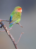 Rosy-faced Lovebird (Agapornis roseicollis) adult, perched on branch in desert, Erongo, Namibia Papier Photo par Shem Compion
