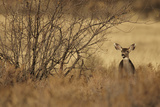 Mule Deer (Odocoileus hemionus) doe, standing in desert scrub, New Mexico, USA Photographic Print by Mark Sisson