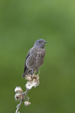 juvenile Townsend's Solitaire Photographic Print by David Hosking