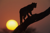 Leopard (Panthera pardus) On tree - in front of the rising sun - Namibia Photographic Print by Winfried Wisniewski