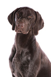 Domestic Dog, German Short-haired Pointer, adult male, close-up of head Photographic Print by Chris Brignell