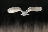 Barn Owl (Tyto alba) adult, in flight, hunting over meadow, Leicestershire Reproduction photographique par Martin Withers