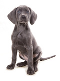 Domestic Dog, Weimaraner, blue short-haired variety, puppy Photographic Print by Chris Brignell