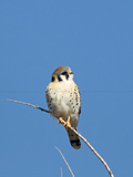 American Kestrel (Falco sparverius) adult male, perched on twig, New Mexico Photographic Print by David Tipling