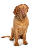 Domestic Dog, French Mastiff (Dogue de Bordeaux), adult male, sitting Photographic Print by Chris Brignell