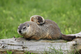 Woodchuck (Marmota monax) adult, carrying young on back, Minnesota, USA Photographic Print by Jurgen & Christine Sohns