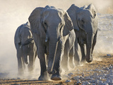 African Elephant (Loxodonta africana) adults and young, small herd making way to waterhole, Kunene Photographic Print by Martin Withers