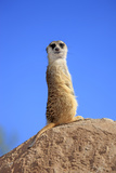Meerkat (Suricata suricatta) adult, on lookout, Little Karoo, Western Cape Photographic Print by Jurgen & Christine Sohns