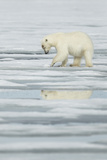 Polar Bear (Ursus maritimus) adult, scraping at pack ice, Svalbard, June Photographic Print by Mark Sisson
