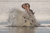 Hippopotamus (Hippopotamus amphibius) adult, in aggressive display, splashing water, Kwando Photographic Print by Shem Compion