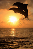 Common Bottlenose Dolphin (Tursiops truncatus) two adults, leaping, silhouetted at sunset, Roatan Photographic Print by Jurgen & Christine Sohns