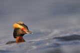 Slavonian Grebe (Podiceps auritus) adult, breeding plumage, swimming between waves, Iceland Papier Photo par Malcolm Schuyl