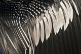Anhinga (Anhinga anhinga) adult male, close-up of wing feathers, Anhinga Trail, Everglades Photographic Print by David Tipling