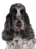 Domestic Dog, English Cocker Spaniel, adult female, close-up of head Photographic Print by Chris Brignell