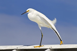 Snowy Egret (Egretta thula) adult, breeding plumage, stretching wing and leg, Florida Photographic Print by Kevin Elsby