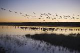 Sandhill Crane (Grus canadensis) flock, Bosque del Apache National Wildlife Refuge Reprodukcja zdjęcia autor David Tipling