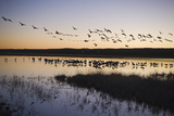 Sandhill Crane (Grus canadensis) flock, Bosque del Apache National Wildlife Refuge Photographic Print by David Tipling