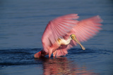Roseate Spoonbill (Ajaia ajaja) adult with wings spread, Florida, USA Papier Photo par David Hosking