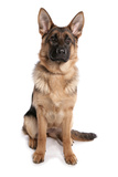 Domestic Dog, German Shepherd Dog, adult, sitting Photographic Print by Chris Brignell