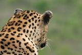 African Leopard (Panthera pardus pardus) adult male, looking away, Sabi Sands Game Reserve Fotografisk trykk av Philip Perry
