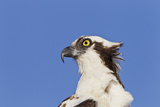 Osprey (Pandion haliaetus carolinensis) adult, close-up of head, Florida, USA Photographic Print by Kevin Elsby