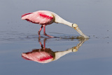 Roseate Spoonbill (Ajaja ajaja) adult, feeding in shallow water, Florida, USA Photographic Print by Kevin Elsby